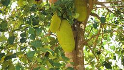 Jackfruit on the tree Footage