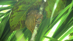Funny Philippine tarsier Tarsius syrichta . Bohol Philippines Footage