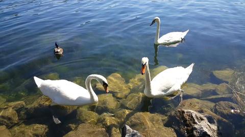 White swans in Donau river Vienna, Austria Footage