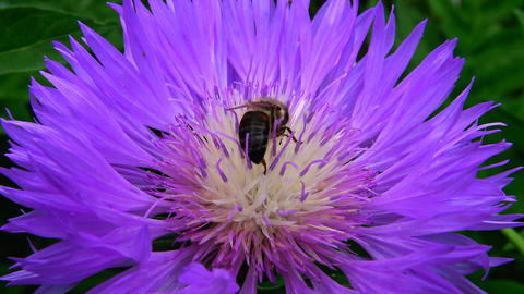The bee collects honey on a purple flower ビデオ