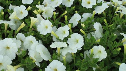 Flowers of white petunias Footage