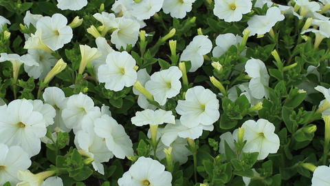 Flowers of white petunias ビデオ