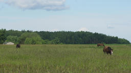 Horse on a summer pasture Footage