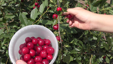 A boy collects cherries Footage