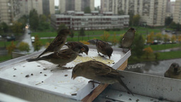 sparrows Stock Video Footage