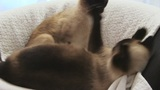 Siamese Cats stock footage