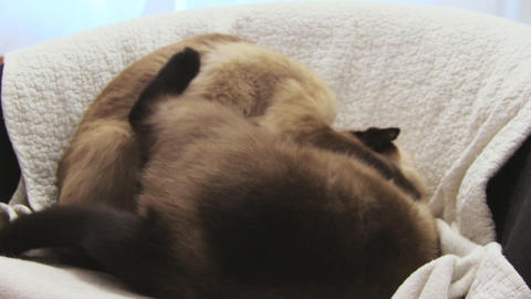 siamese cats Stock Video Footage
