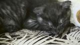Sleeping kitten Footage