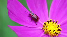 Red and black beetle Stock Video Footage