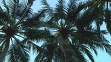 Palmtrees stock footage