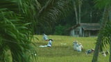 Rice Farmers stock footage