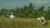 Rice farmers Footage