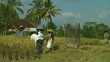 Rice farmers Footage