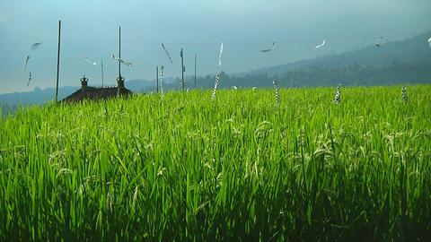 Rice terrace Stock Video Footage