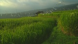 Rice terrace Footage