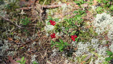 handful of cowberry Stock Video Footage