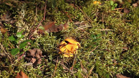 yellow chanterelles Stock Video Footage