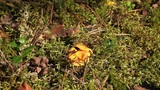 yellow chanterelles Footage