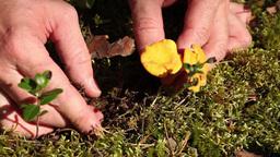 yellow chanterelles Stock Video Footage