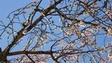 Almond flowers Footage