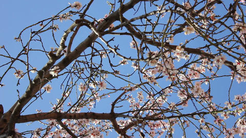 Almond flowers Stock Video Footage