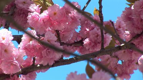 flowering tree b Stock Video Footage