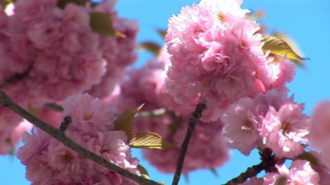 flowering tree b Stock Video Footage