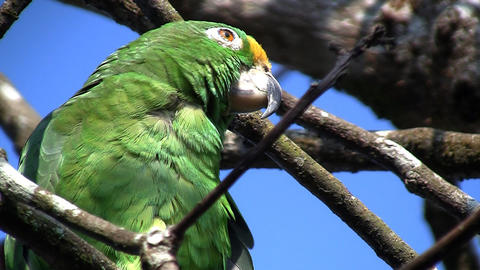Parrot 07 Stock Video Footage