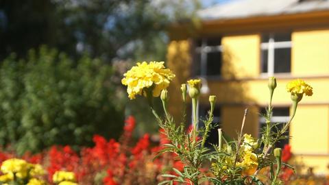 Yellow Autumn Flower Stock Video Footage