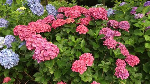 Flower-ajisai-20170716-0002 Footage