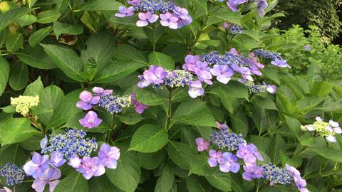 Flower-ajisai-20170716-0014 Footage