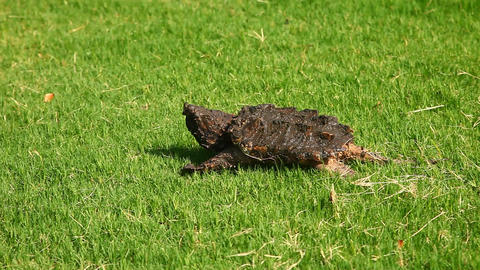 Alligator Snapping Turtle in grass Footage