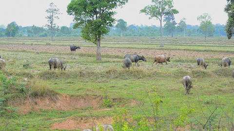 Buffalo in nature rice field at the countryside Footage
