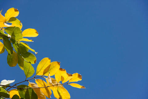 yellow leaf with blue sky Photo