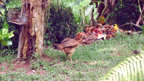 Hen In Garden Filmmaterial