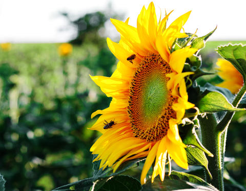 Sunflower flower with bees Foto