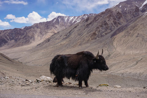 Kashmir yak in beautiful landscape with snow peaks background,North India Photo