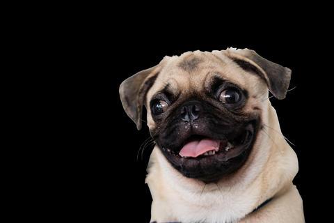 A portrait of a cute Pug dog Foto