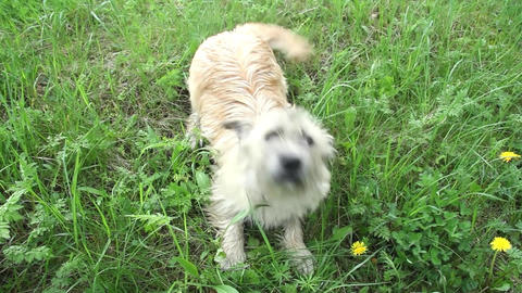 White puppy furry and fluffy sitting in the grass.He... Stock Video Footage