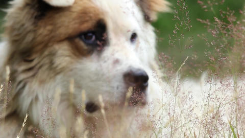Close-up of a great white dog seen through the herbs in the wind 25 Footage