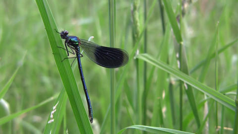 Dragonfly, insect predators characterized by an elongated body, agile flight and Live Action