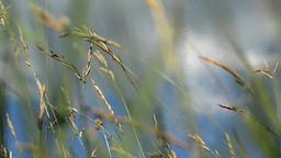 Dried herbs, spice, wheat, grass in the wind. The wind blows hard 5 Footage