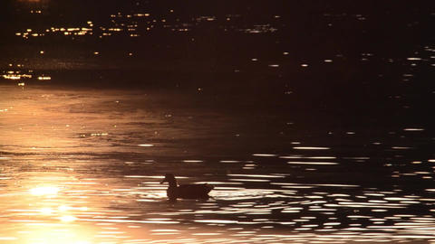 Duck looking for food on a lake at sunset that turns the atmosphere into a choco Footage