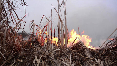 Cornfield dry reed burning in the early morning which was torched by unknown per Footage