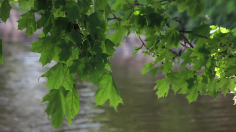 Maple branch wiggle in front of river in summer windy day Footage