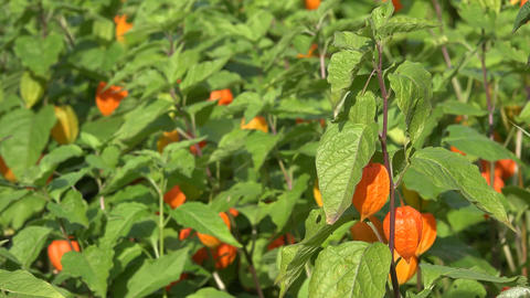 physalis alkekengi plant in garden. Plant orange lantern. 4K Footage