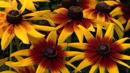 Rudbeckia flowers in the garden ビデオ