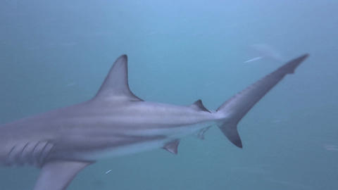 Blacktip Sharks around bait Footage