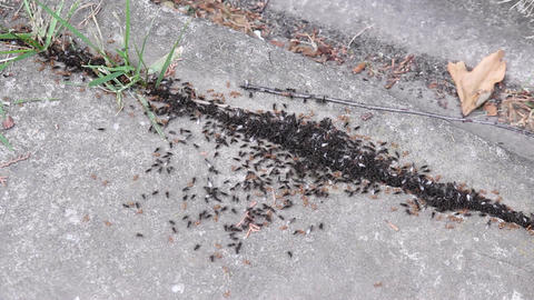 Yellow And Black Ants Footage