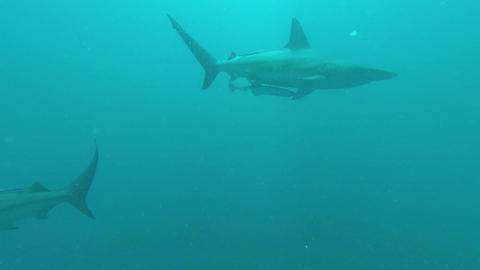 Black tip Sharks swimming around bait Footage